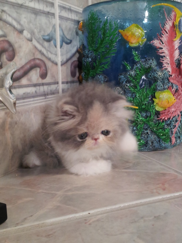 """Dilute Calico Persian Female kitten """"SOLD"""""""