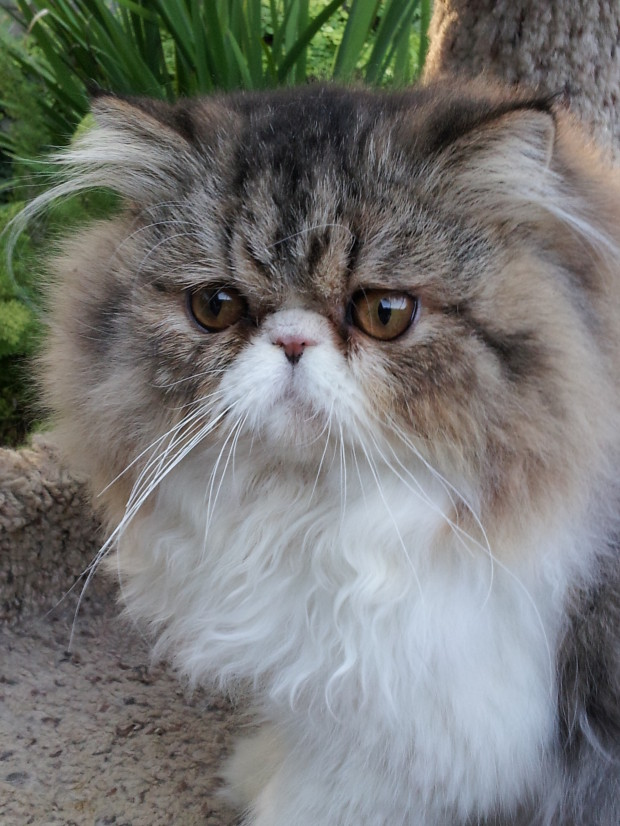 "Brown/white Tabby Persian male kitten ""SOLD"""
