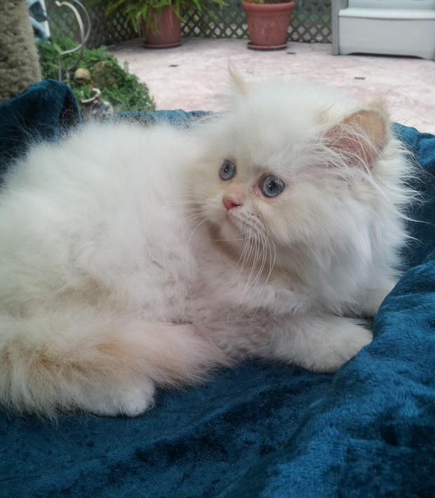 "Flame pt. Himalayan Male kitten ""SOLD"""