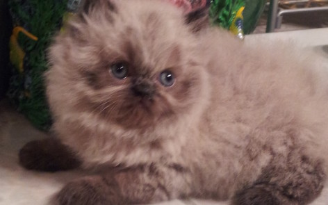 """Seal point  Himalayan Female kitten """"SOLD"""""""