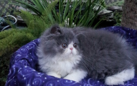 """Blue & white Persian Male kittens """"SOLD"""""""