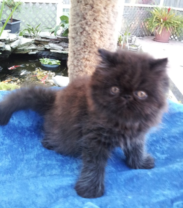 Black Persian, Male kitten *SOLD*