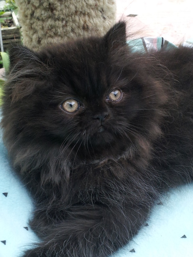 Black, Persian Male kitten *SOLD*