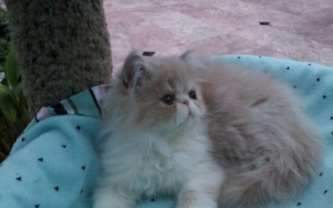 Cream and white Persian Male kitten *SOLD*