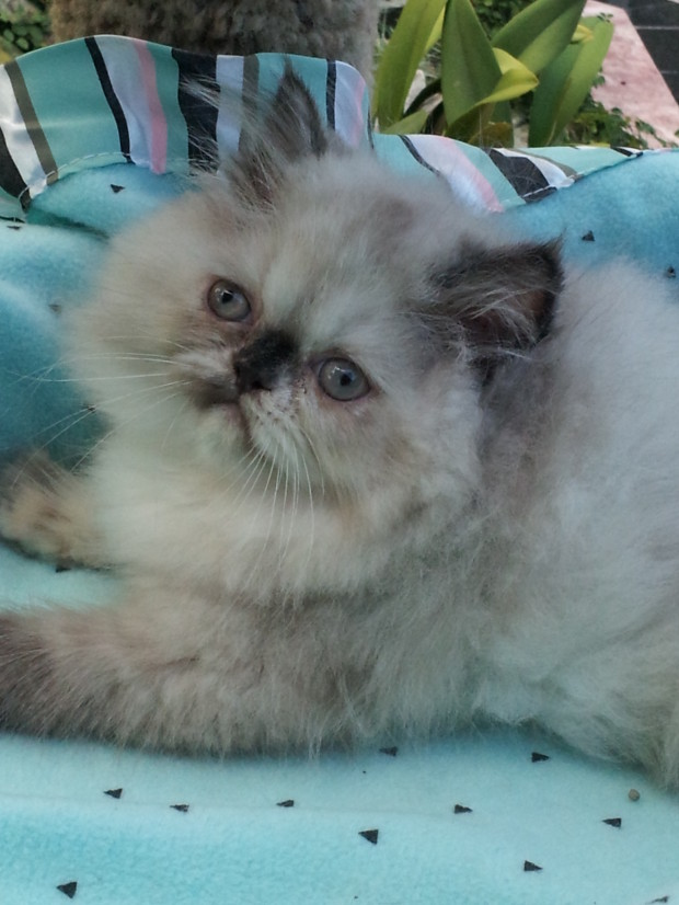 Totie Point, Himalayan Female kittten  *SOLD*