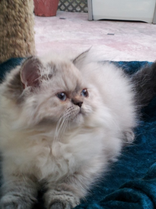 Seal Lynx point Himalayan Female kitten *SOLD*