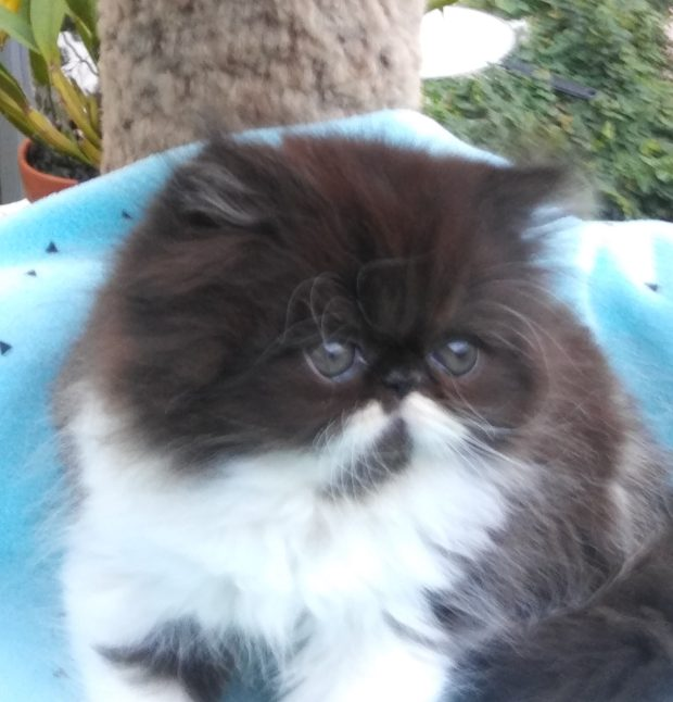 Black & white Persian, Female kitten  *SOLD*