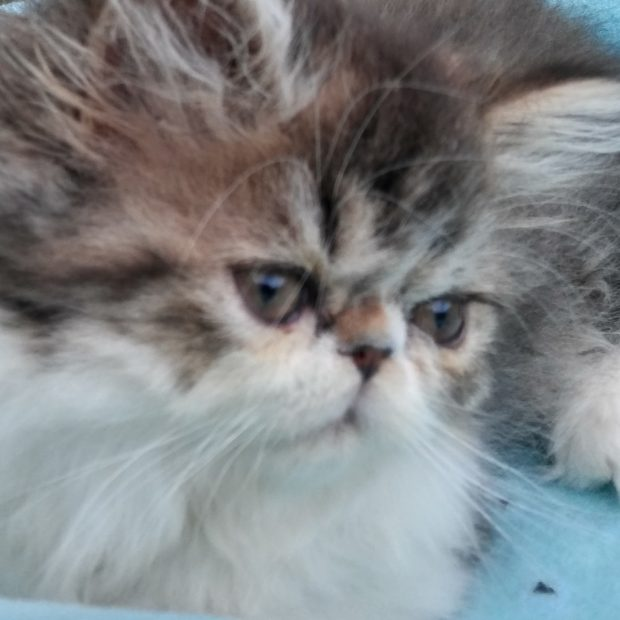 Brown & white Persian, Female kitten *SOLD*