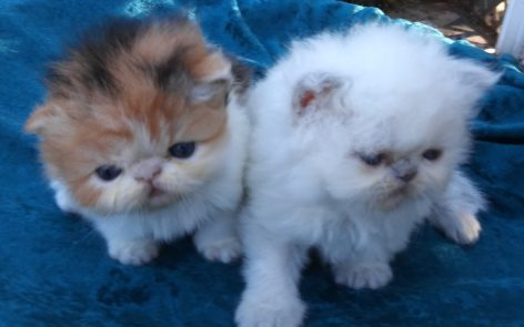 "Lilac pt. Himalayan male and Calico female ""SOLD"""