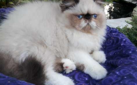 "Seal & white point, Himalayan female kitten ""SOLD"""