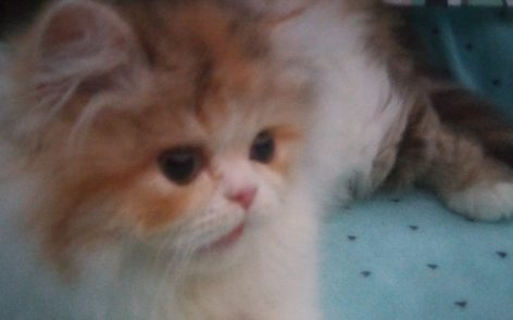 "Calico, Persian female kitten ""SOLD"""