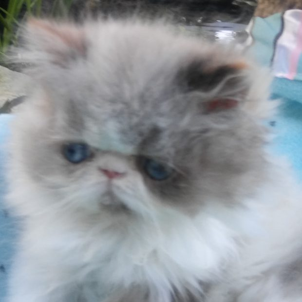 "Seal & white point Himayan, female kitten ""SOLD"""