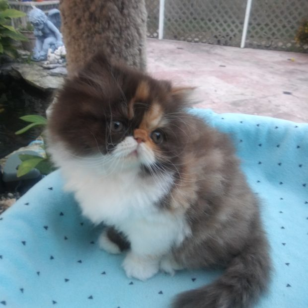 "Chocolate Calico, Persian female kitten ""SOLD"""