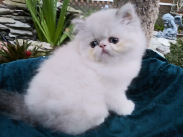 "Calico Lynx point Himalayan female kitten ""SOLD"""
