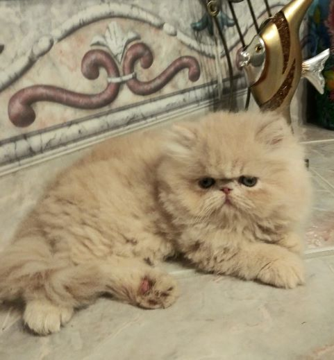 "Cream Tabby Persian male kitten ""SOLD"""